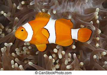 Clown Anemonefish - a clown anemonefish swimming in the...