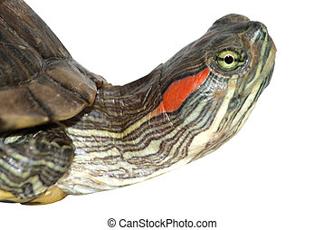 pet turtle red-eared sliderTrachemys scripta elegans...