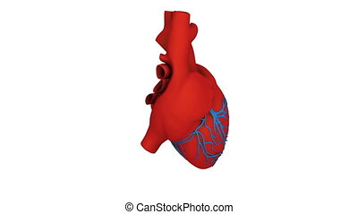 heart model - A model of human heart isolated on white with...
