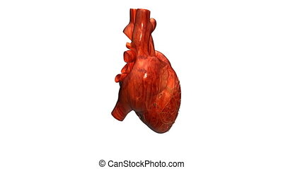 heart real - A realistic human heart isolated on white with...