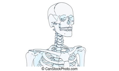 skeleton draw - A drawing of a human skeleton on white...