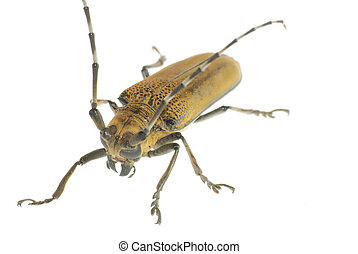 insect beetle
