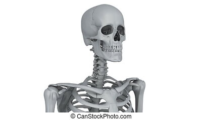skeleton model - A model of human skeleton isolated on white...