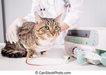 Cat on a drip. Vet and animal concept