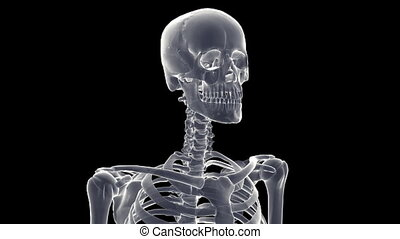 skeleton xray - A x-ray human skeleton with matte