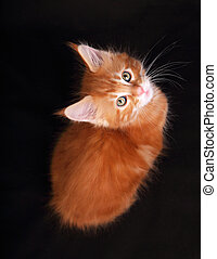 Adorable cute red solid maine coon kitten sitting with...