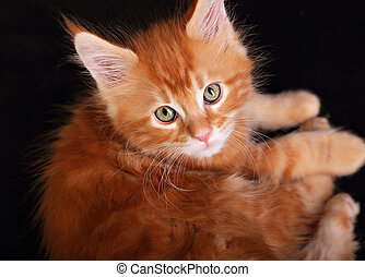 Big beautiful cat eyes. Closeup. Red solid maine coon kitten...