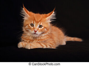 Cute red solid maine coon kitten sitting with beautiful...