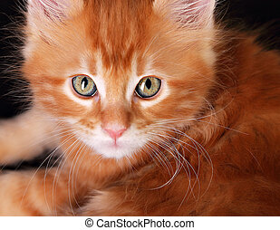 Big magic kitten eyes. Closeup. Red solid maine coon ginger...