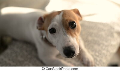 Jack Russell terrier small dog wiggling her tail and runs...