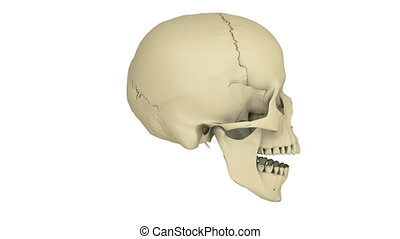 skull model - A model of human skull isolated on white with...