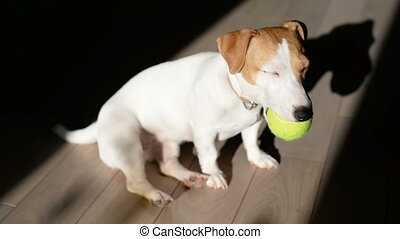 Dog Play with tennis ball - Cute Sleepy Jack Russell Terrier...