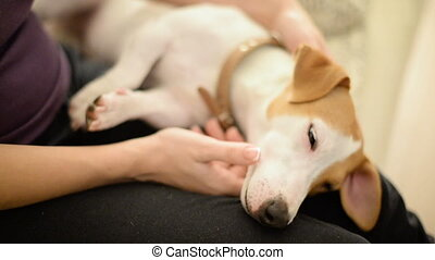 A cute Jack Russell terrier dog in his owner lap relaxed and...