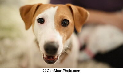 Closeup of Jack Russell Terrier yawn - Closeup of cute...