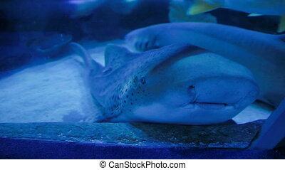 Jaws of Leopard (zebra) Shark (Stegostoma fasciatum). Close...