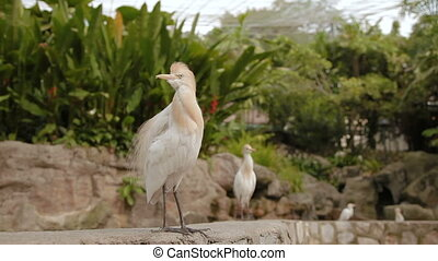 The cattle egret (Bubulcus ibis), a cosmopolitan species of...