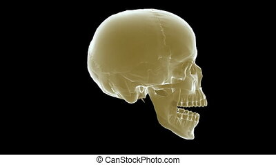 skull xray - A x-ray human skull with matte