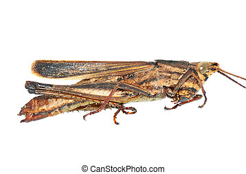 insect grasshopper bug