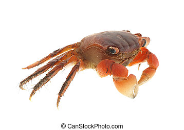 seafood animal red crab isolated