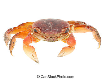 seafood animal red crab isolated on white