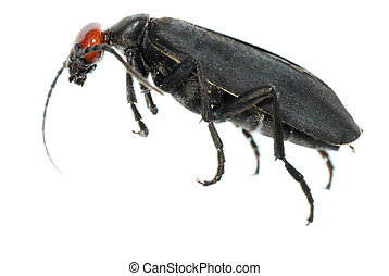 orange and black blister beetle insect isolated