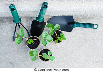 Strawberry Plants and Seedlings With Gardening Tools. Concept Agriculture.