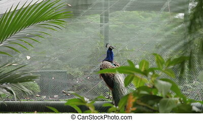 Indian blue peafowl or peacock Pavo cristatus . - Indian...