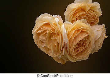 Soft full blown beige roses as a dark background for...
