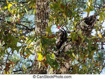 pileated, pájaro carpintero, árbol, Arriba