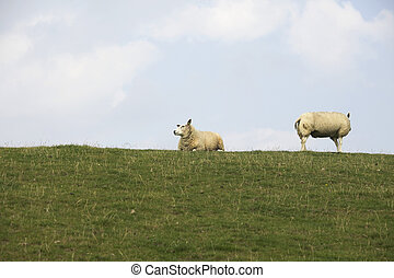 Sheep on dyke - Group of sheep on dyke in summer