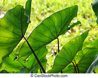 Elephant Ears Taro colocasia esculenta leaves background,...