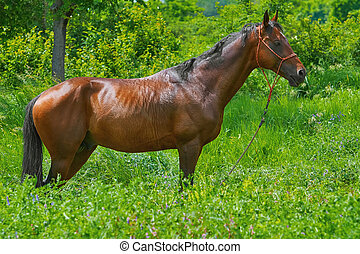 Chestnut Horse in the Grass