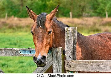 Portrait of the Horse - Portrait of the Chestnut Horse