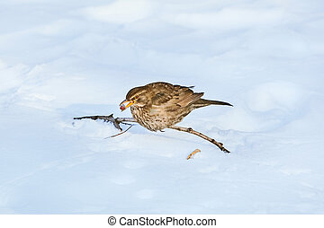 Song Thrush with Berry in its Beak