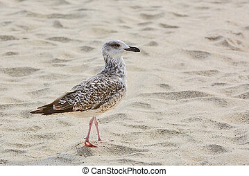 Seagull on Sand - Young Seagull Walking by the Beach