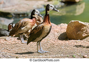 White-faced Whistling Duck on the Bank of the Pond