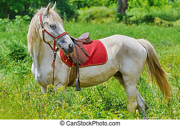 White Horse in Grass - Saddled White Horse in the Green...