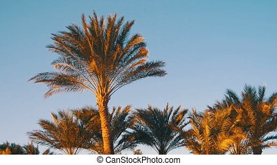 Tropical Palm Trees on Sky Background in Desert. Palm trees...