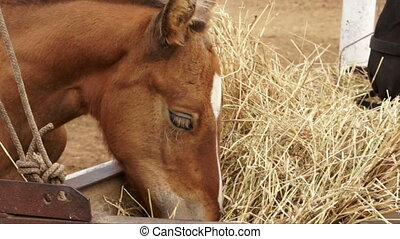 Tw horses feeding hay outofdoors close up video - Different...