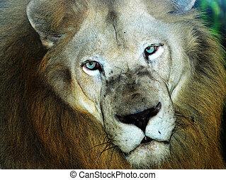 獅子, 男性