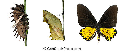 butterfly life cycle isolated
