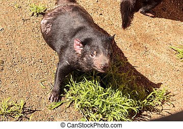 Tasmanian devil, Sarcophilus harrisii, brothers relax in the...