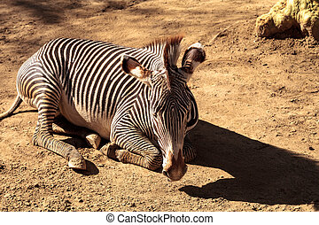 Grevy's zebra, Equus grevyi, relaxes in the sun after a dust...