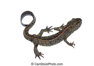 animal, salamandra