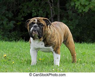 brindle, Inglés, Bulldog