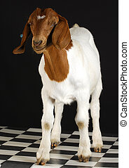 goat standing on black background - purebred south african...