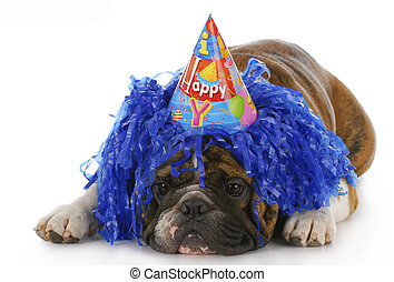 birthday dog - dog wearing silly birthday hat and wig with...