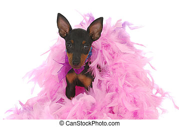 spoiled dog - toy manchester terrier puppy sitting in pink...