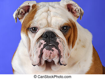english bulldog male head portrait on blue background