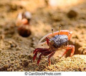 Uca vocans, Fiddler Crab walking in mangrove forest at...